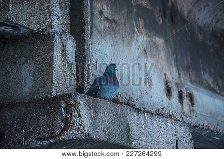 A Lonely Pigeon Hid From The Rain In A Gray Basement