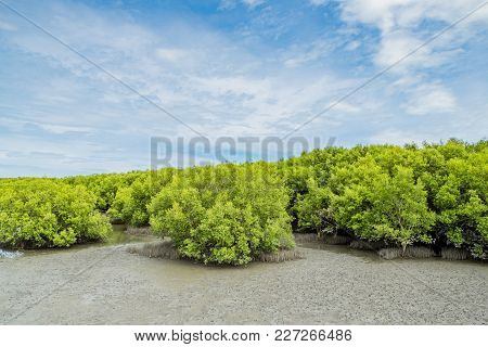 Landscape View Of Ebb Tide Time Of Mangrove Forest And Blue Sky, Nature Outdoor.