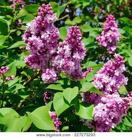 Purple Lilac Flowers Spring Blossom Background. A Bright Sunny Day.