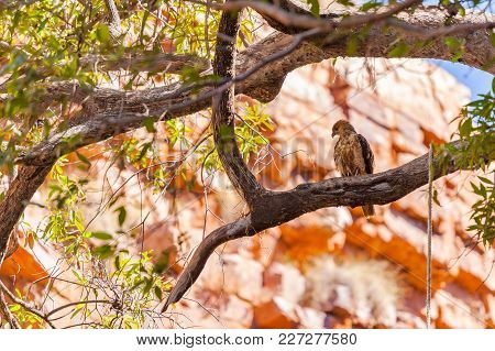 Whistling Kite (haliastur Sphenurus) At The Grotto, A Small Gorge In The Kimberley Region Of Western