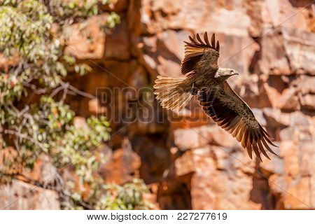 Whistling Kite (haliastur Sphenurus) In Flight At The Grotto, A Small Gorge In The Kimberley Region