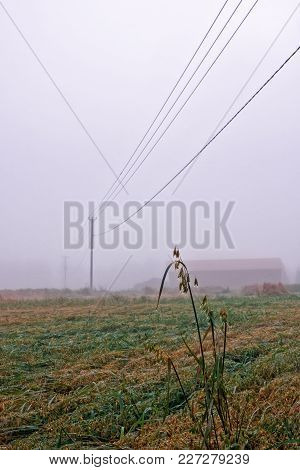 A Foggy Day On The Oat Fields Of The Northern Finland. The Autumn Weather Is Very Moist And Droplets
