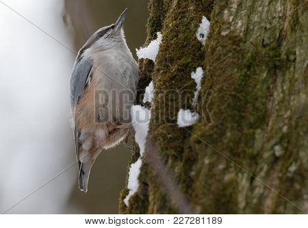 Eurasian Nuthatch Wood Nuthatch (sitta Europaea) Clinging On A Branch. European Nuthatch On The Fore