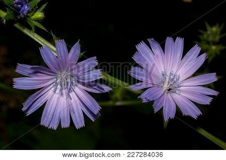 Two Beautiful Flowers Blossoming On A Twig Of Chicory. Live Nature. Summer Morning.