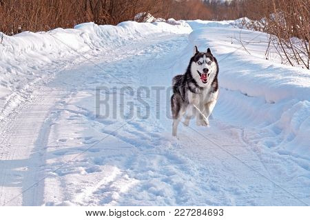Merry Husky Dog Runs Fast. Black And White Siberian Husky Runs Ahead With All Its Might.