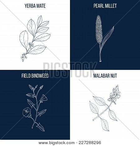 Vector Collection Of Four Hand Drawn Medicinal And Eatable Plants, Yerba Mate, Pearl Millet, Field B