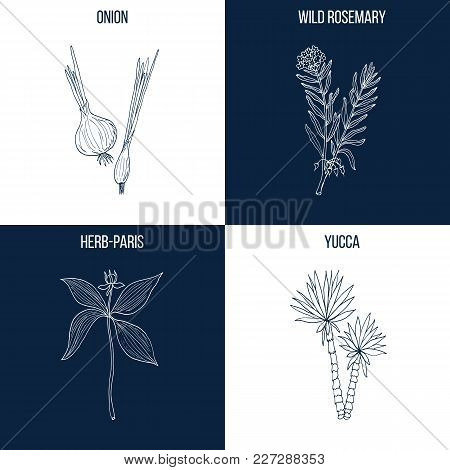 Vector Collection Of Four Hand Drawn Medicinal And Eatable Plants, Onion, Wild Rosemary, Herb-paris,