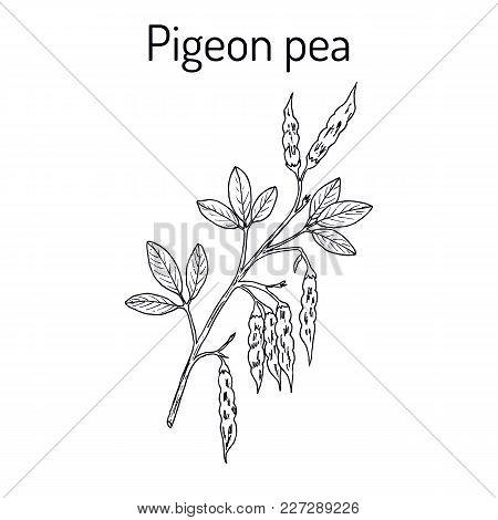 Pigeon Pea Cajanus Cajan , Medicinal Plant. Hand Drawn Botanical Vector Illustration