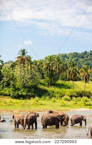 Sri Lankan wild elephants at riverbed drinking water