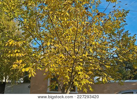 Walnut Tree With Yellow Leaves At Autumn