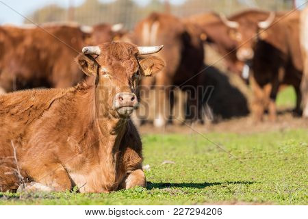 Brown Angus Cow Lying Down Outside In A Grassy Farmers Field