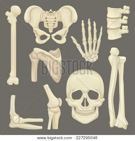 Collection With Various Parts Of Human Skeleton. Skull, Pelvic Girdle, Hand, Humerus, Lumbar Spine,