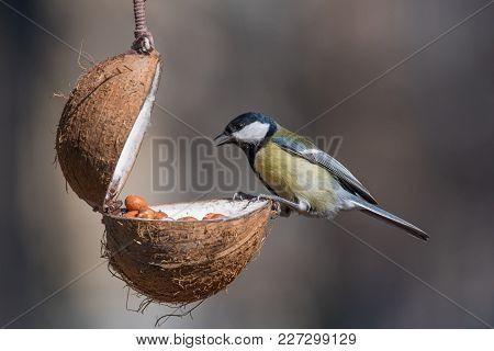 Cute  Great Tit (parus Major) Bird In Yellow Black Color Sitting On Bird Feeder