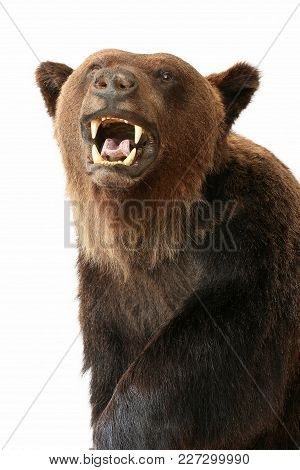 Bear Trophy Animals Theme Taxidermy Objects Isolated