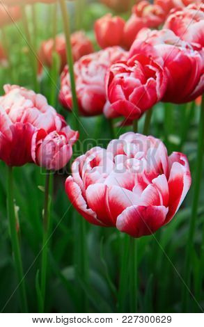 Beautiful Pink Tulips In The Spring Time. Close-up Of Closely Bundled White-pink Tulips.