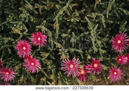 Pink Iceplant Flower Or Hardy Ice Plant Bright Purple Flowers On Flowerbed In The Garden