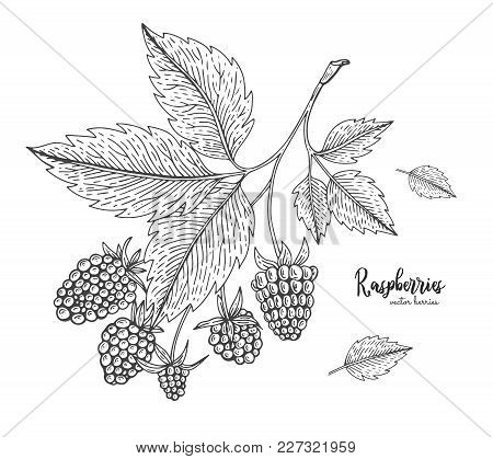 Hand Drawn Illustration Of Raspberry Isolated On White Background. Berries Engraved Style Illustrati
