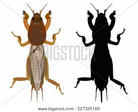 Vector Colored Drawing Of An Gryllotalpa And Her Dark Silhouette On A White Background. Earth-moving