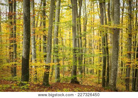 A View Of A Beech Forest In Autumn.