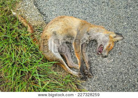 A Dead Fox Lying On The Ground Beside Road.