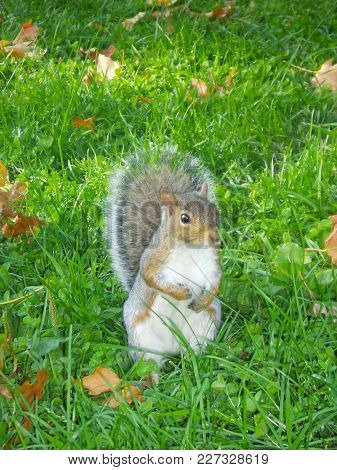 A Front View Of A Squirrel Standing In The Grass.