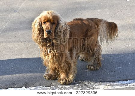 Standing Dog Breed English Cocker Spaniel Very Smart Look