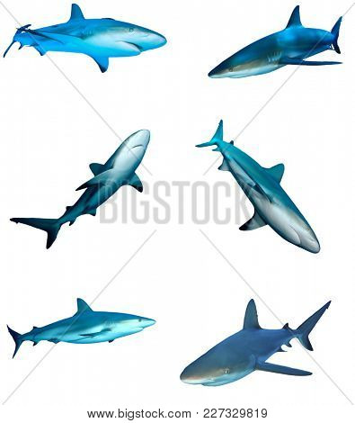 Sharks on white background. Caribbean Reef Shark isolated. Collection of shark cutouts