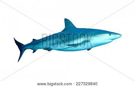 Caribbean Reef Shark isolated on white background