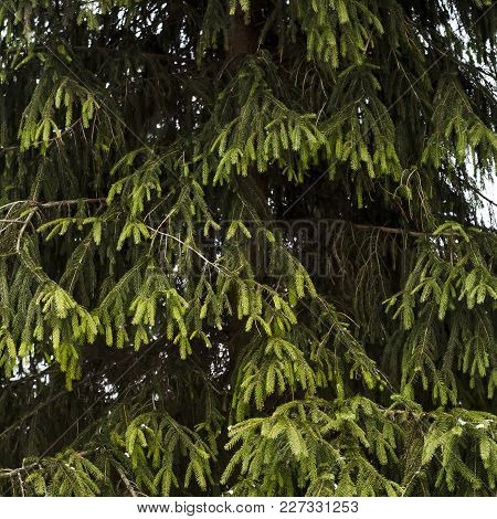 Green branches of a Christmas tree with needles. Evergreen tree. A symbol of winter and Christmas. B