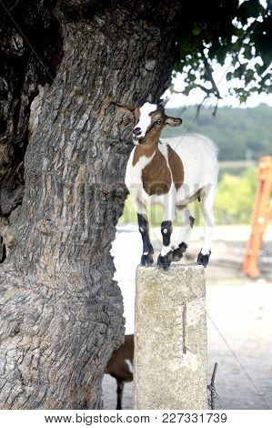 Goat That Takes The Height To Catch The Leaves