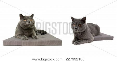 Gray Cats Isolated On White Background. Horizontal Photo.