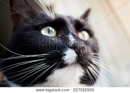 Muzzle Of Sunlit Black And White Cat. Focus On The Cat Nose.
