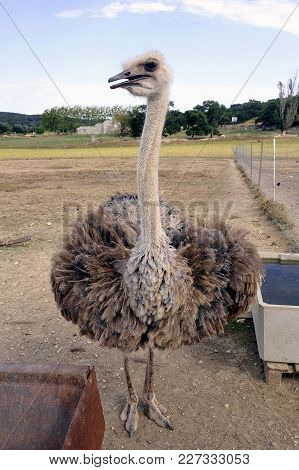 Ostrich At Liberty In A French Farm In The Department Of Gard