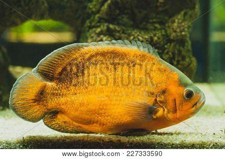 Oscar - Astronotus Ocellatus. Fish From The Cichlid Family. Exotic Popular Aquarium Fish.