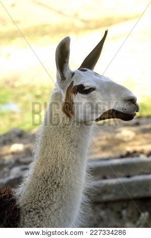 A Lama In A French Farm In The Gard Department