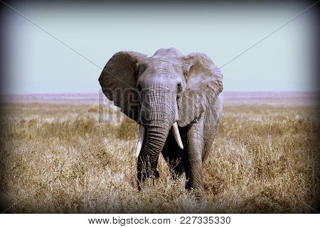 Elephant In The Sabana Of African Tanzania