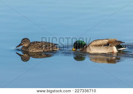 A Mallard Hen And Drake Reflected On A Lake