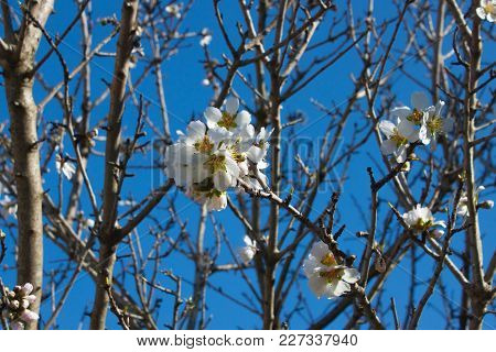 Beautiful White Almond Flowers With Yellow Stamens And A Green Heart On Brown Branches Against A Bri