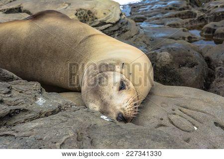 Sea Lion On The Rocks, La Jolla, California