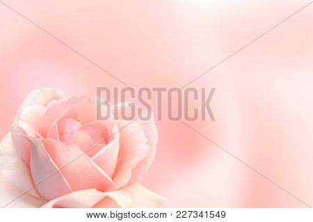 Blurred background with rose of pink color. Copy space for your text. Mock up template. Can be used for wallpaper, wedding card, web page banner