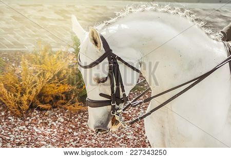 White Horse, Advanced Dressage Test On Equestrian Competition. Professional Female Horse Rider, Equi