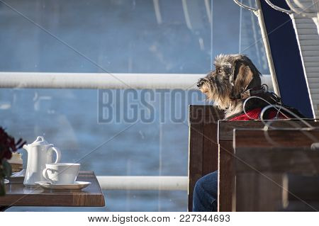Funny Dog, Wirehaired Dachshund Dog Sitting In A Chair In Front Of A Laid Coffee Table, Copy Space