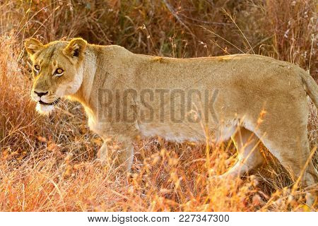 Female Lion Hiding In Long Grass In A South African Game Reserve