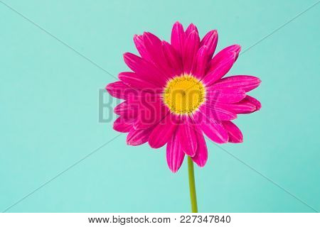 Pink Pyrethrum Flowers On Blue Background. Pink Daisy. Close Up. Copy Space.