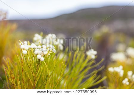 Selective Focus Of Small White Coastal Flowers