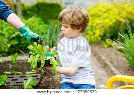Cute Little Preschool Kid Boy And Mother Planting Green Salad In Spring. Close-up Of Hand Of Adult A