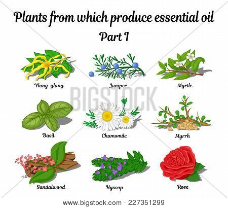 Plants From Which Produce Essential Oils Such As Rose, Ylang Ylang, Basil, Chamomile, Myrtle, Sandal