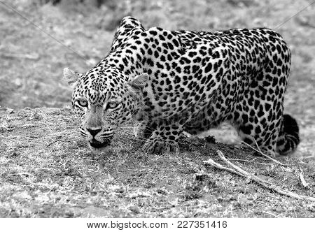 Black & White Image Of An Alert Looking African Leopard (panthera Pardus) Getting Ready To Pounce In
