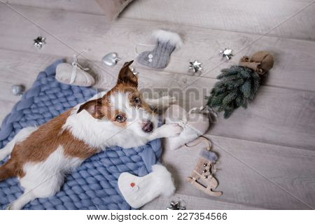 The Dog Is Lying On The Floor. Jack Russell Terrier On A Blanket