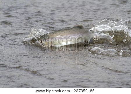 Pink Salmon Floating Along The Shallow Mouth Of The River During The Spawning Period